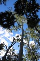 Pom Pom trees
