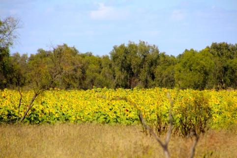 Sunflowers, happy flowers