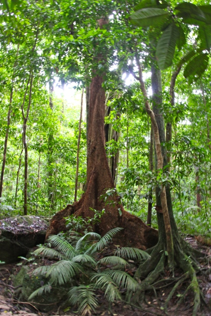 Mossman Gorge, Buttress Roots