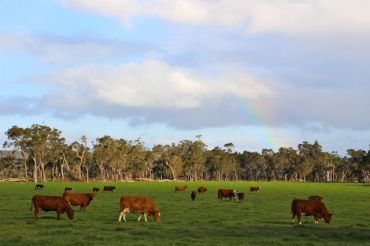 Cows in Denmark don't care for rainbows