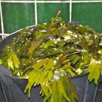 Seaweed bath?