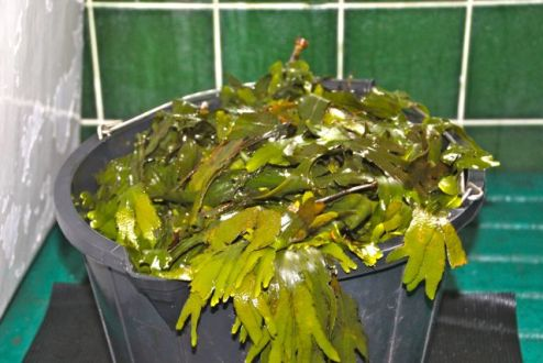 A bucket of seaweed goodness