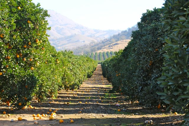 An orange orchard outside the town of Lemon Grove