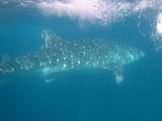Whaleshark in La Paz - Love them