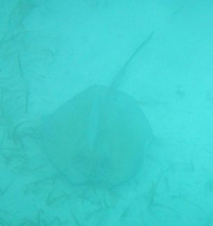 A Ray at Barrier Reef Belize