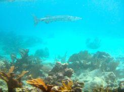Baracuda at Goffs Caye