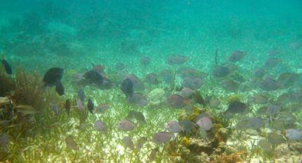 Blue Tangs at Barrier Reef Belize