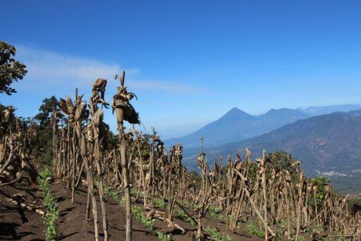 Corn fields & volcanos