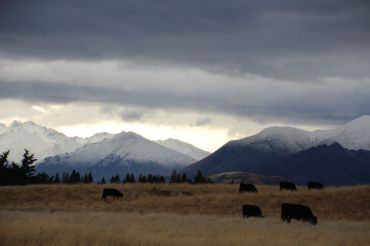 Late afternoon cows near Wanaka