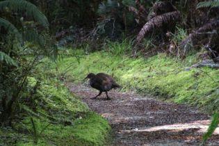 A walking Weka, a native flightless bird