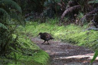 A walking Weka, a native flightless bird