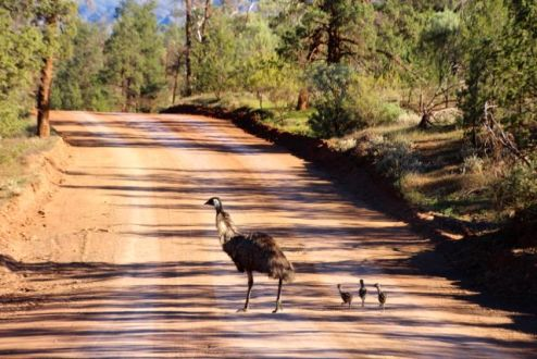 some passing traffic, now, why did the emu cross the road?