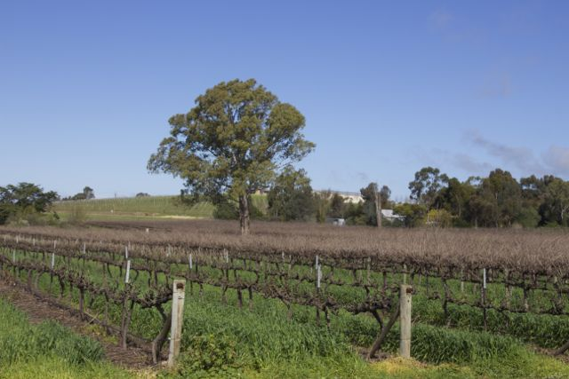 Clare Valley Vineyard
