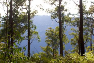 Beginning to see the blue haze through the trees, Blue Mountains
