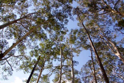 Blue Gum Forest, Blue Mountains