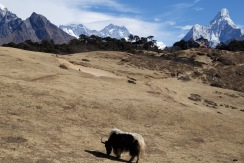 Rest day! First yak sighting with Everest under cloud...